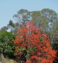 Flame tree on a windy day