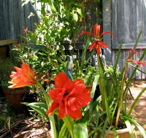 Hippeastrum and lily