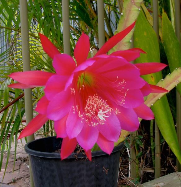 hot pink cactus
