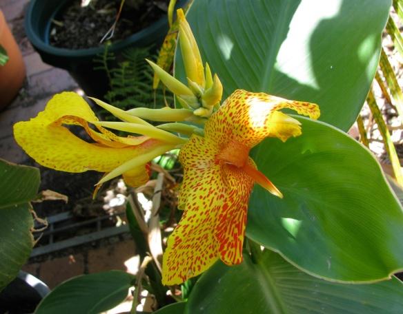 Canna flower