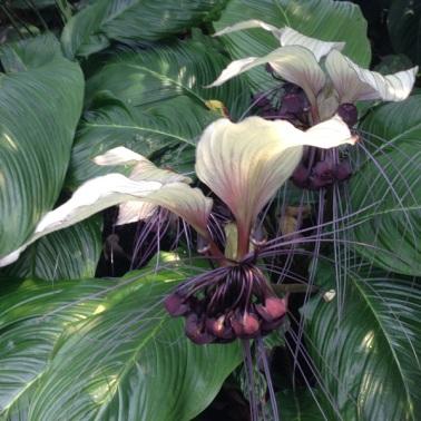 White bat flower 1