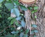 stick moth cocoon
