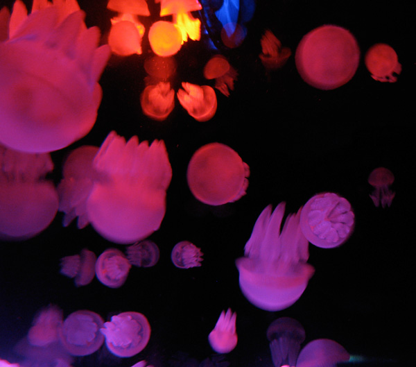 Red and pink jellyfish