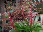 large red bromeliad flowers