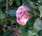 pink flowering camellia