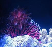coral with urchin