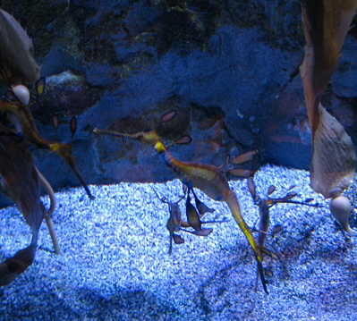 Kelp and sea horse