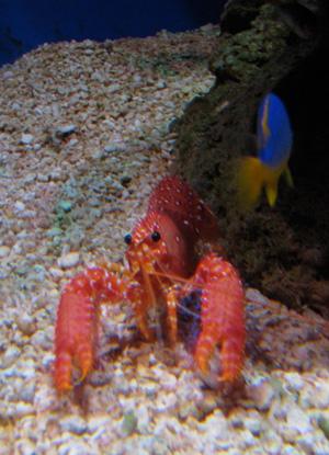 large pink shrimp