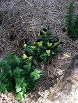 oregano and viola bushes