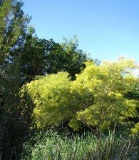 Wattle flowering