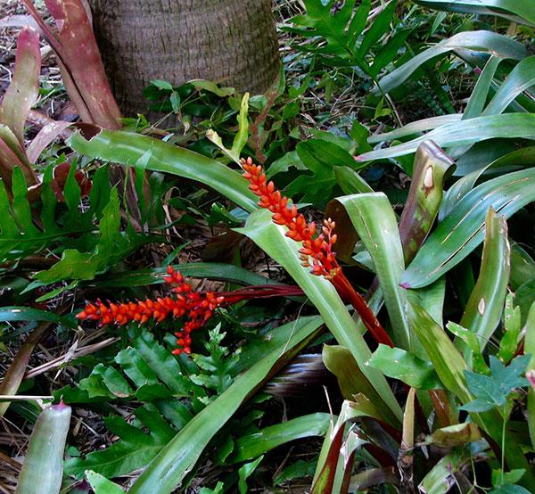 Orange bromeliad