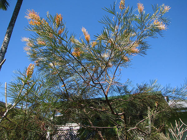 The yellow grevillea is flowering