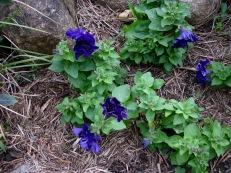Flowering petunias