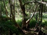 Through tea trees