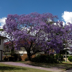 A large yard tree
