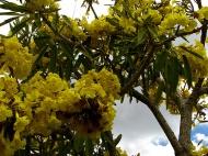 Close up Golden trumpet tree