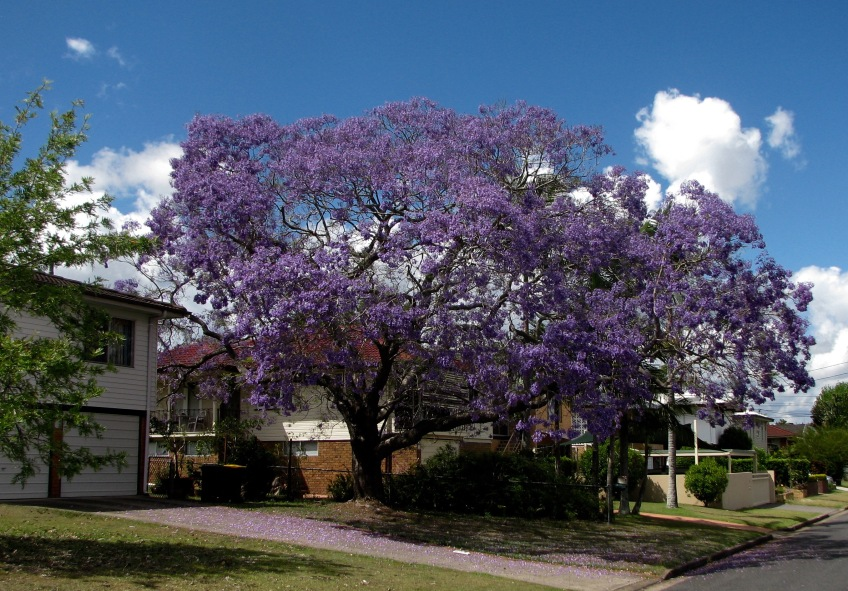 large suburban jacaranda