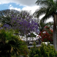 Local jacaranda and flame tree