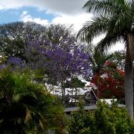 Local jacaranda and flame tree