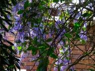 Patrea volublils vine flowering