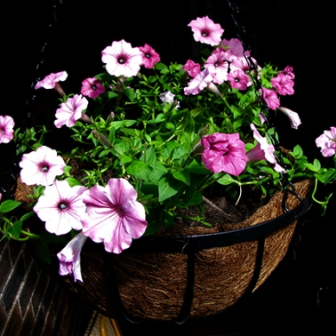 Petunias in basket