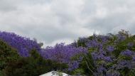 Purple jacarandas