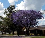 Medium street tree