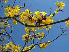 Close up photo of the Tabebuia d'or tree