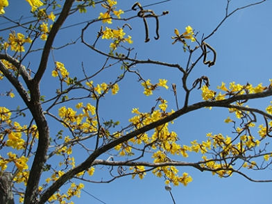 Another pic of the golden trumpet tree