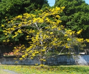 A golden trumpet tree