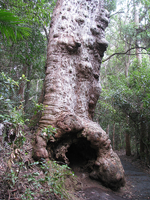 Old man tree