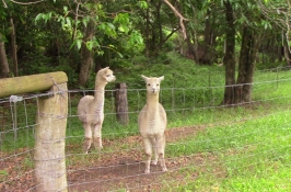 We met alpacas