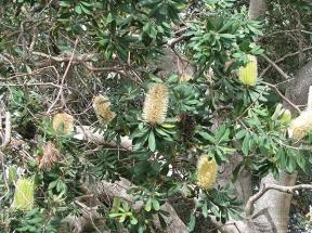 Banksia bush