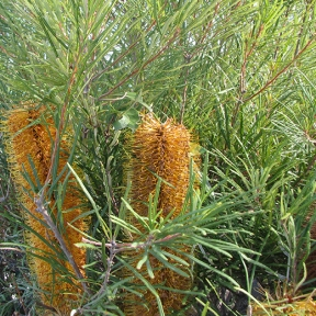 Golden-banksia-2