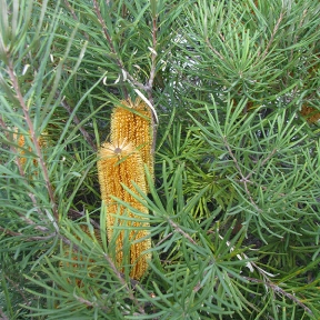 Golden-banksia