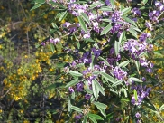 Native pea bush
