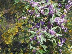 Native pea bush
