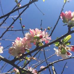 flowering-prunus
