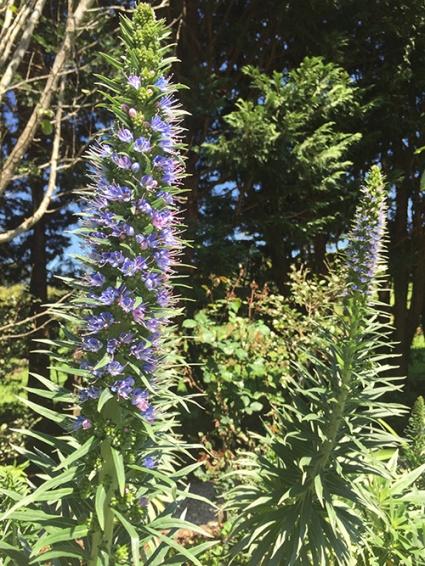 flowering-stalks
