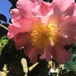 large-camellia
