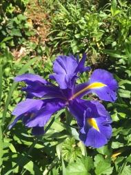 large-purple-iris