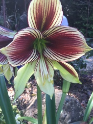 striking-hippeastrum
