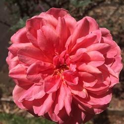 sweet-rose