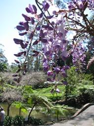 wisterias-close-up