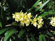 yellow-cliveas