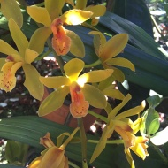 yellow-orchids