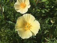 yellow-poppies