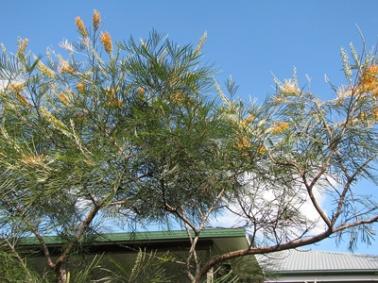 Winter-grevilleas-flowering