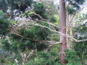 Jacaranda and hoop pine
