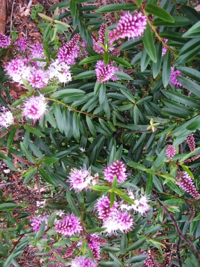 Pink flowered shrub